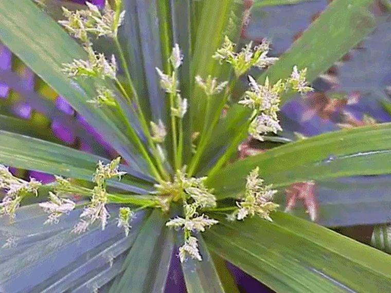 Циперус или сыть - болотная пальма, любительница воды