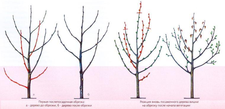 Чудо-вишня: описание сорта, фото, отзывы, полезные советы для эффективного выращивания