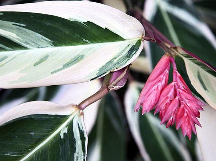 цветение ктенанты