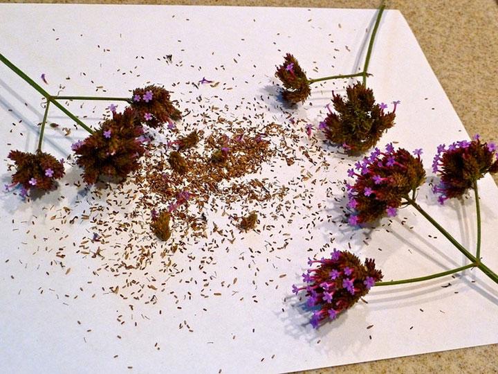 Семена вербены