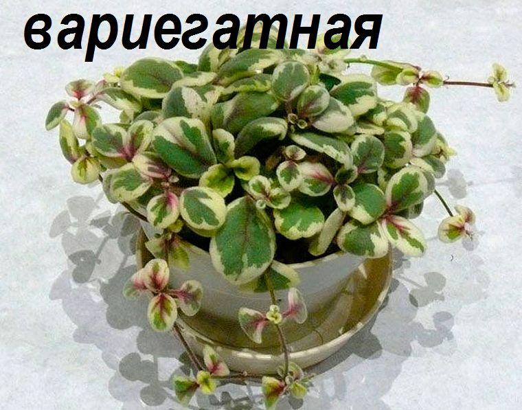 альсобия вариегатная
