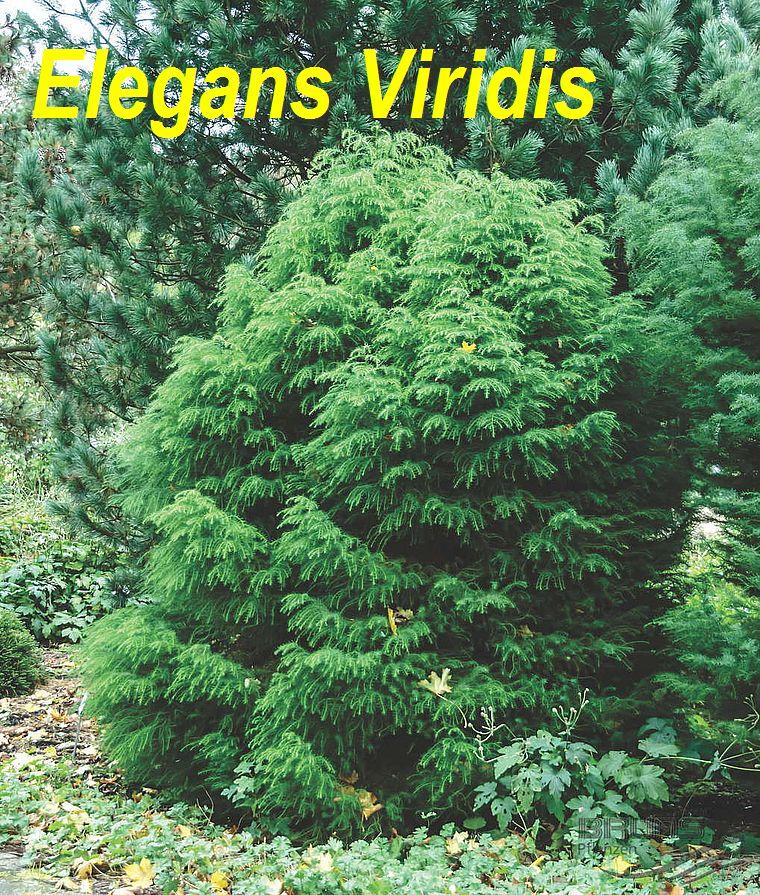 Elegans Viridis