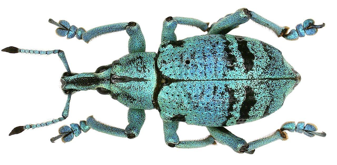 Eupholus humeralis