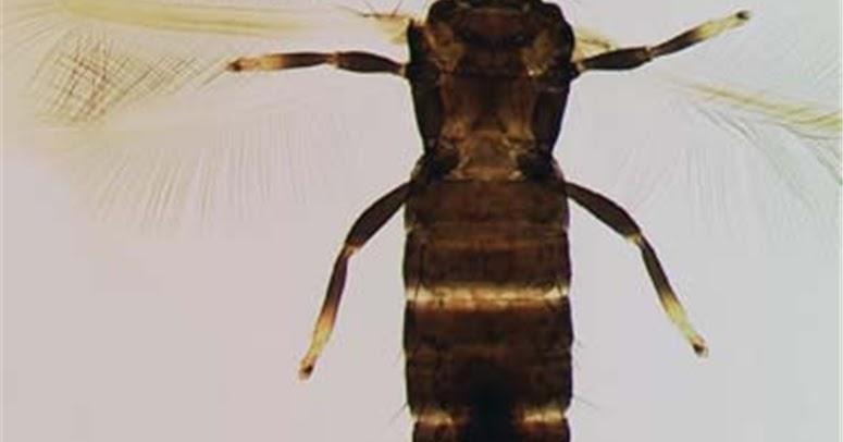 Liothrips vaneeckei