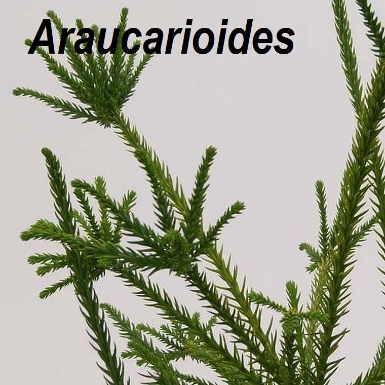 Araucarioides