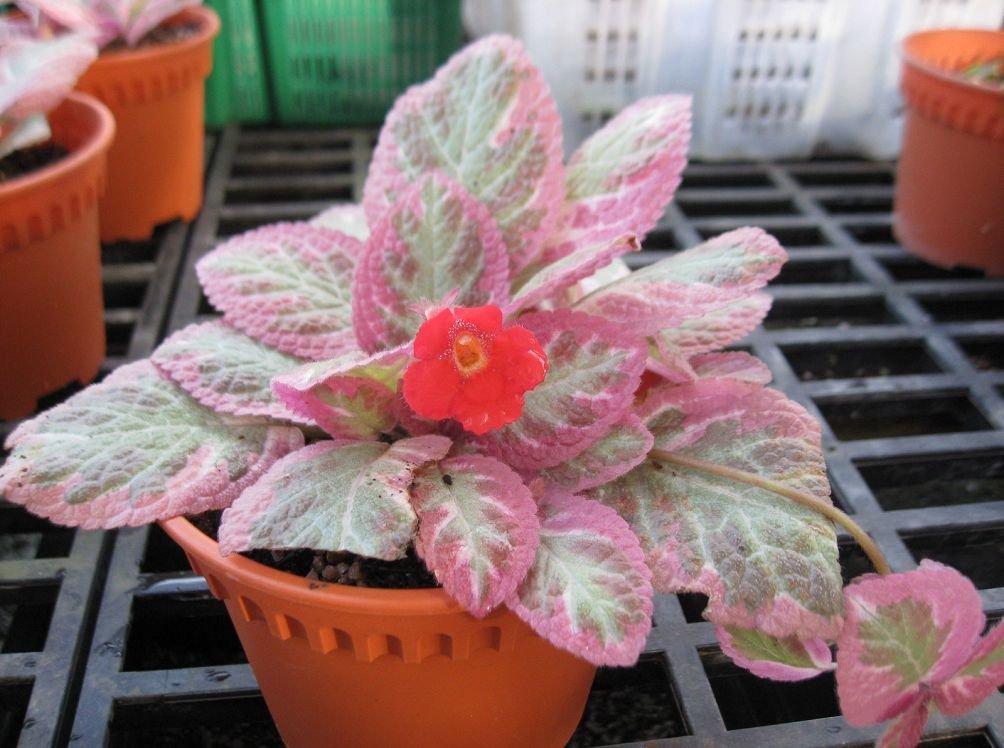 Красивое ампельное растение