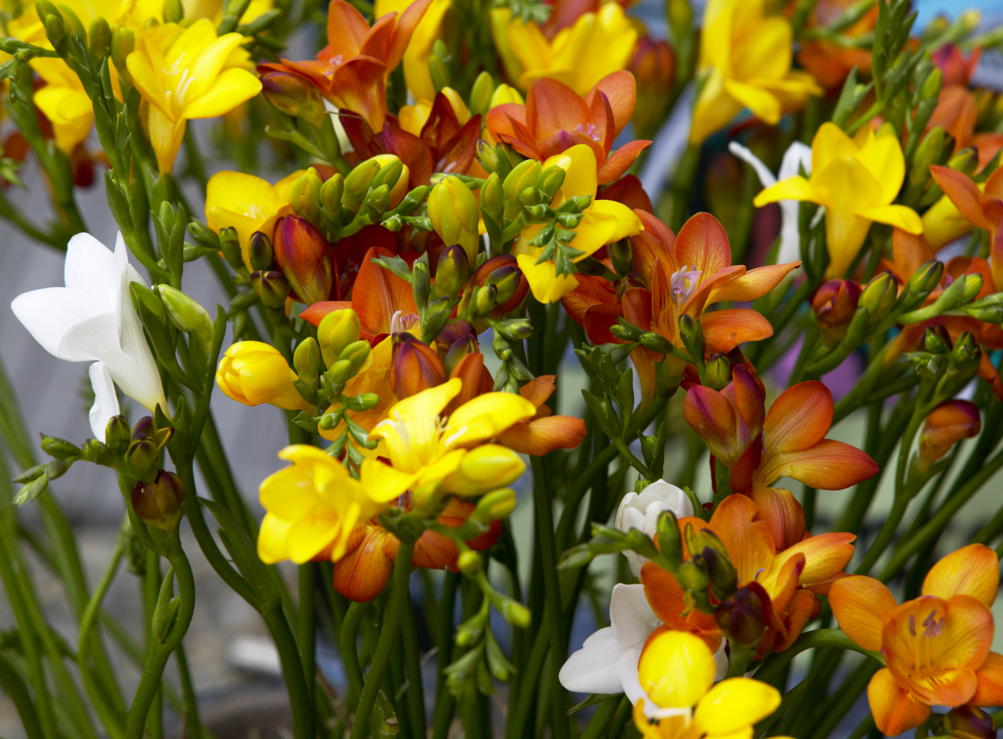 Freesia varieties