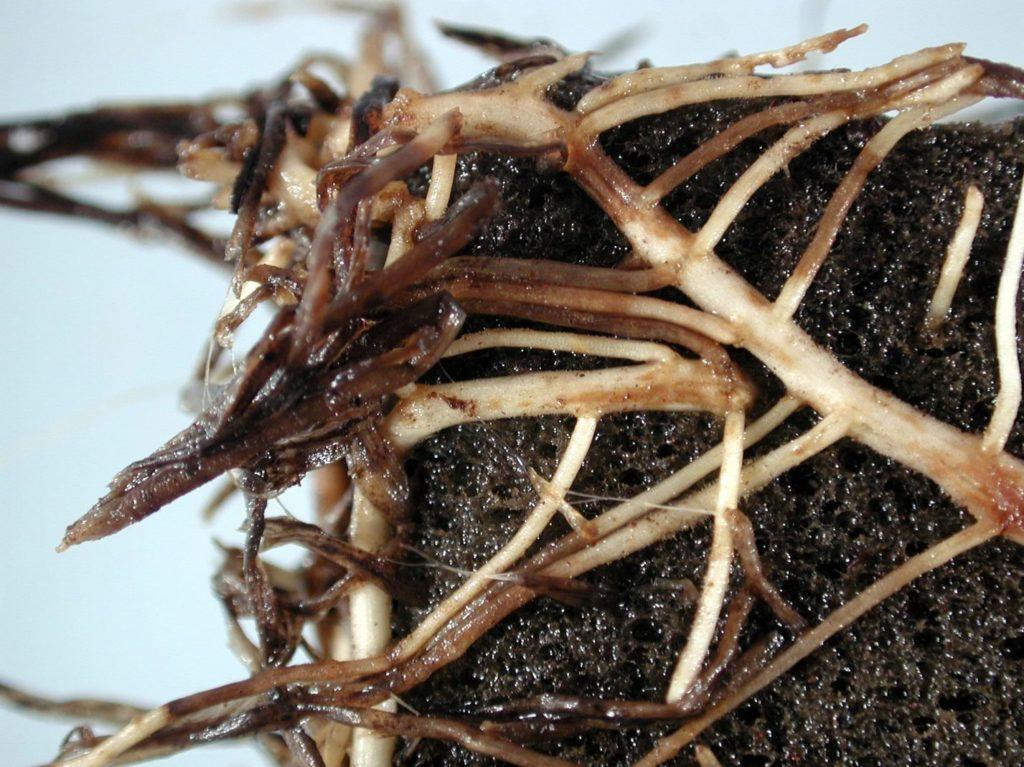 Гниение корней