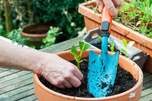 Высадка растения в грунт