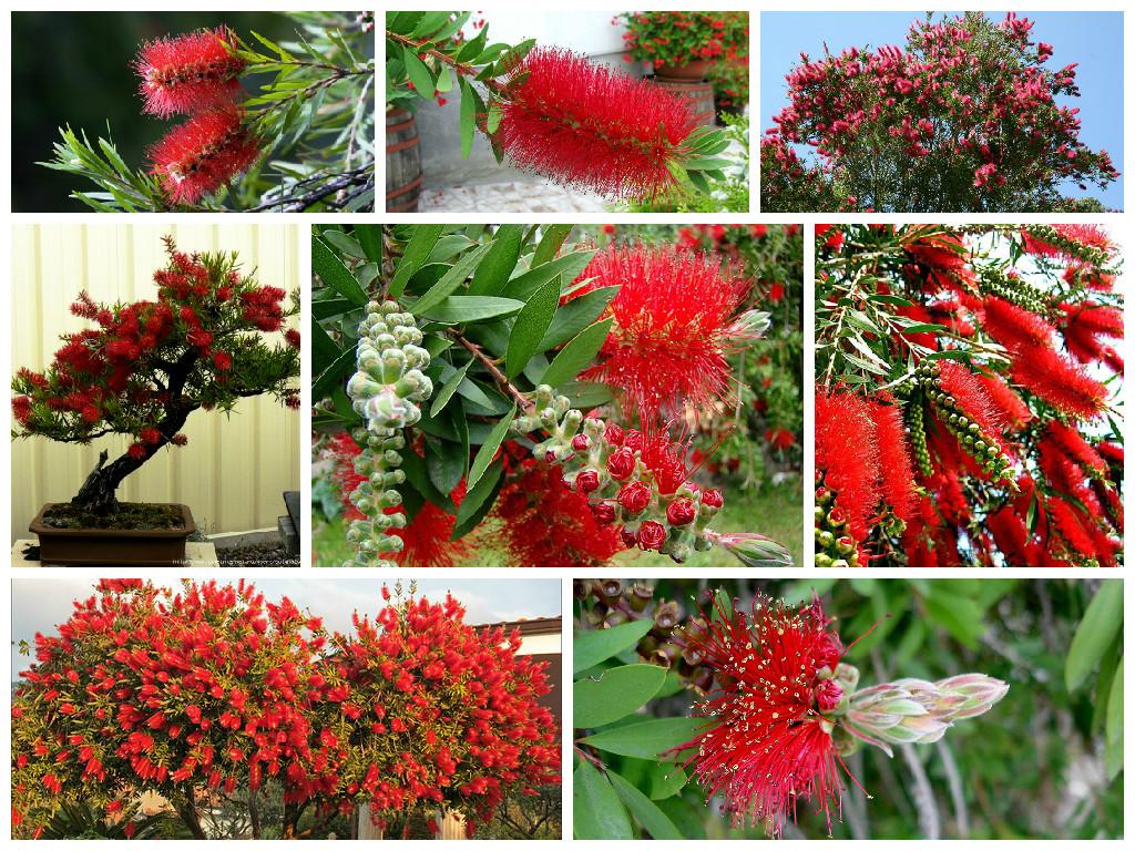 цветок каллистемон
