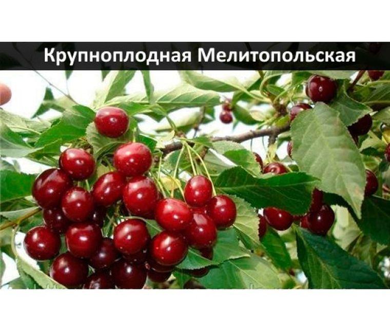 черешня метитопольская