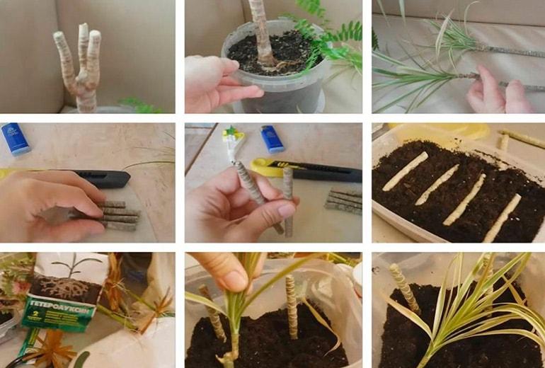 Фото размножения пальмы