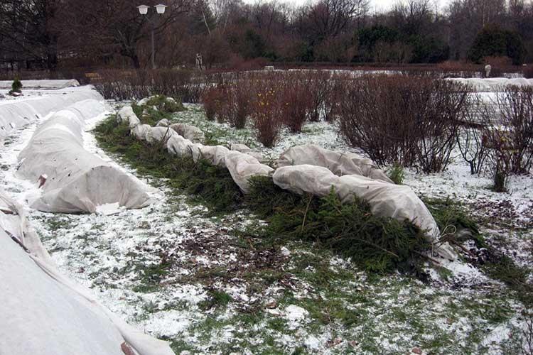 Как подготовить розы к зимовке: что нужно сделать к зиме в Сибири, Подмосковье, Москве