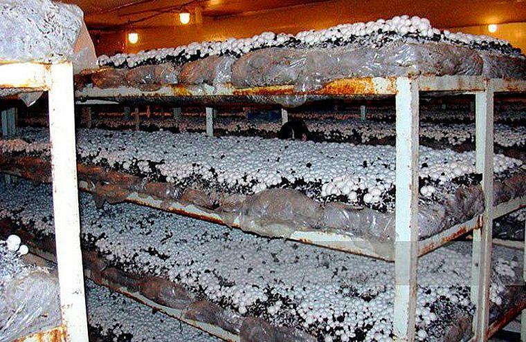 выращивание шампиньонов в подвале