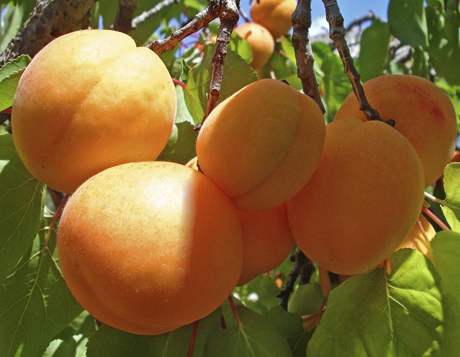 Ананасный Цюрупинский абрикос
