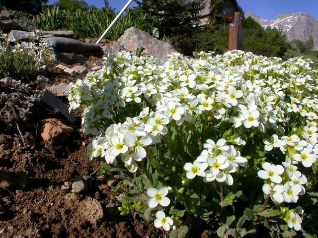 Arabis flaviflora Bunge