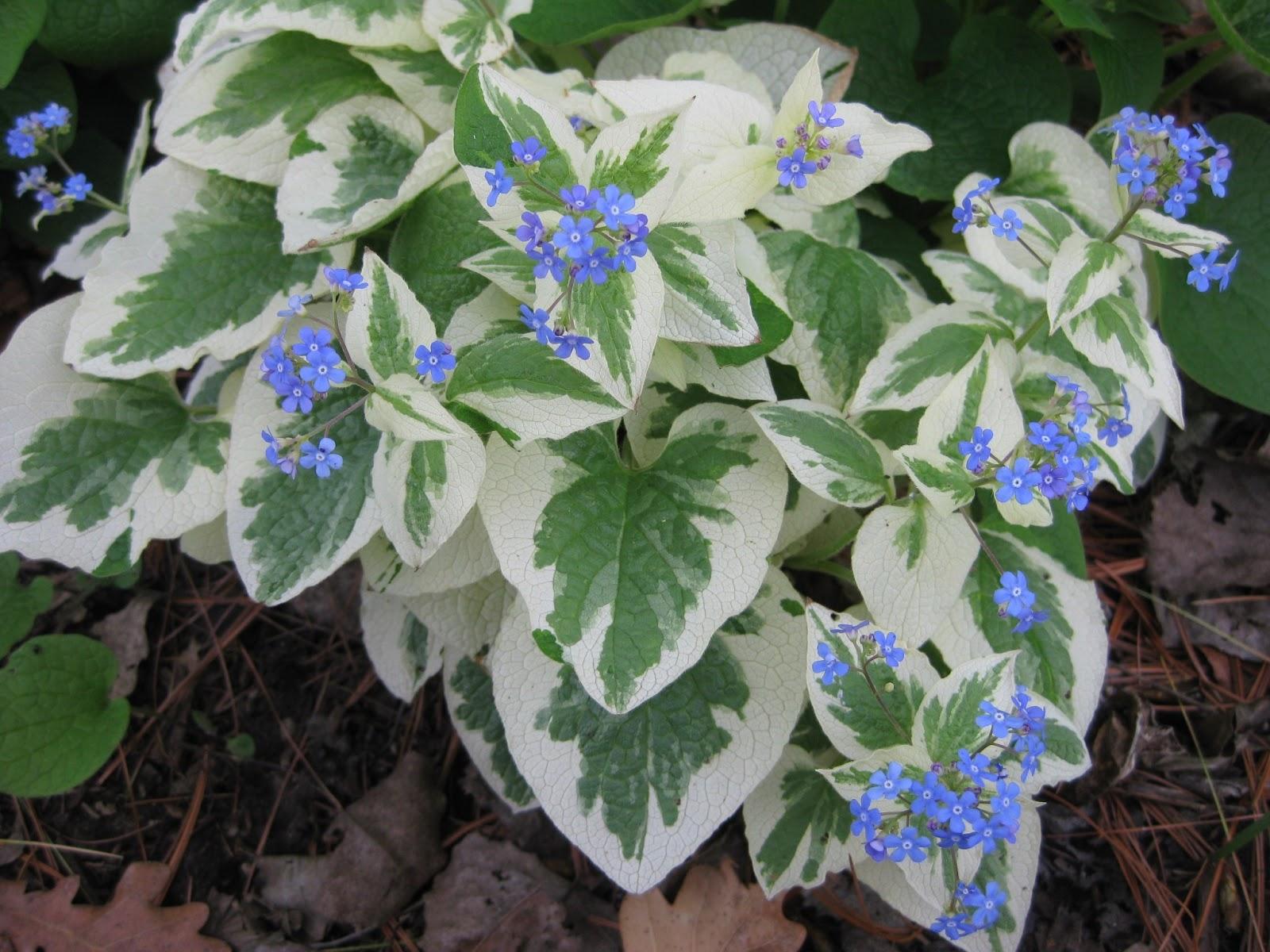 Brunnera macrophylla variegata