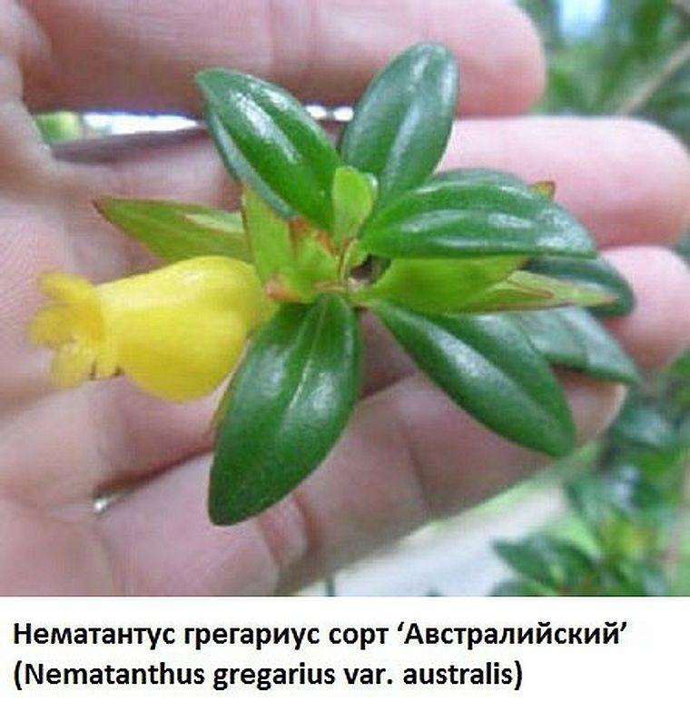 Nematanthus gregarius var. australis