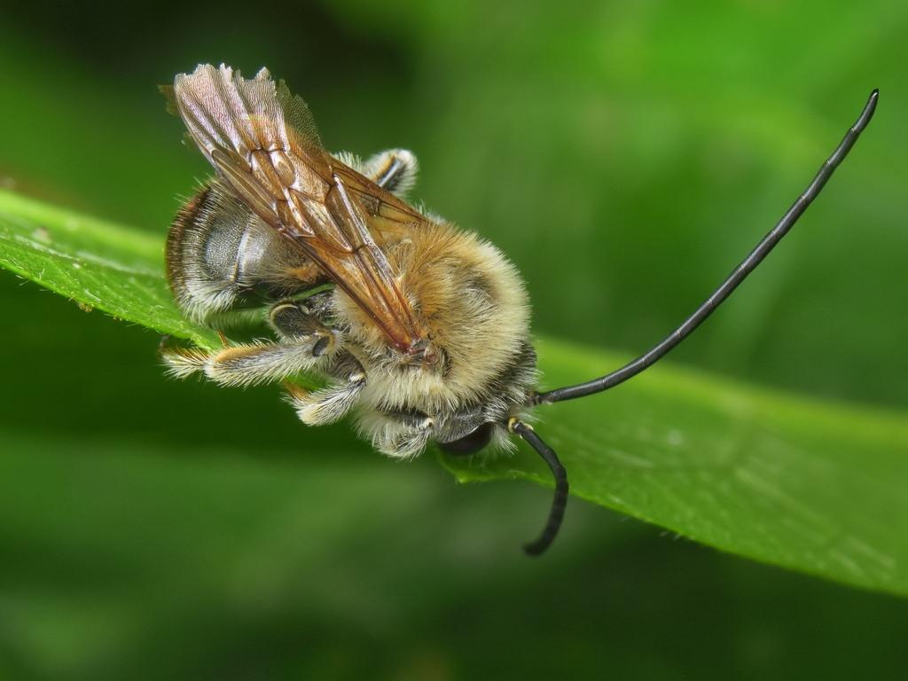Длинноусая пчела