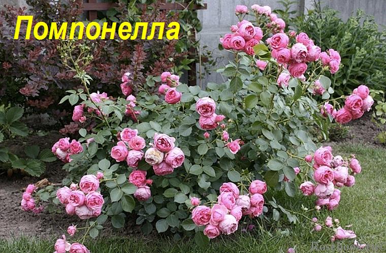 Помпонелла