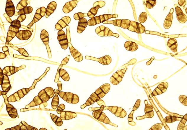 грибы альтернария