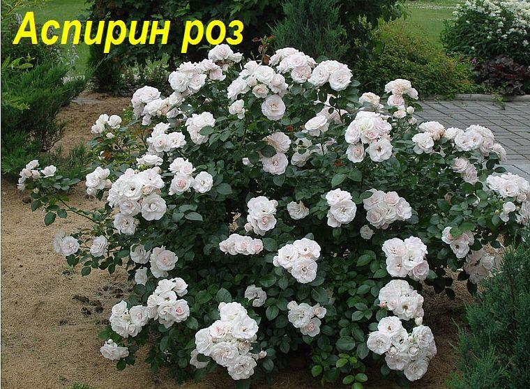 Аспирин роз