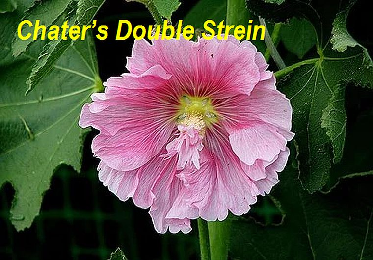 Chater's Double Strein