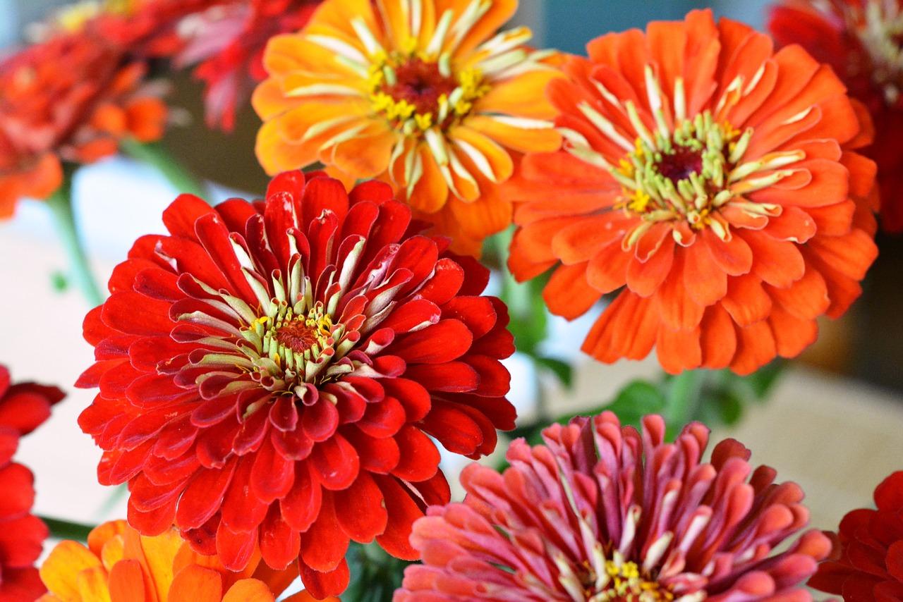 Циния цветет