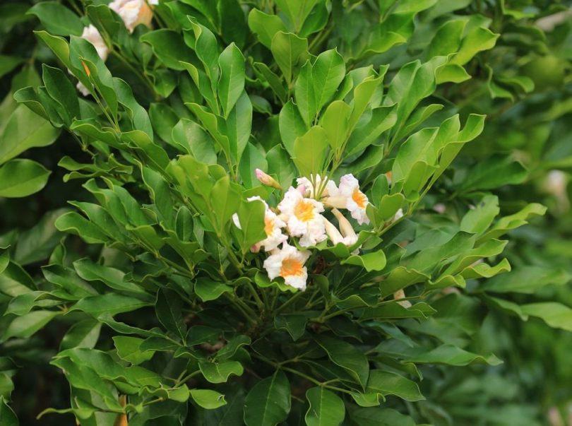Цветение цветка радермахера