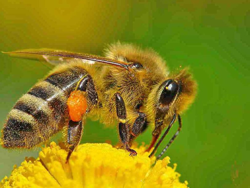 Дикая пчела