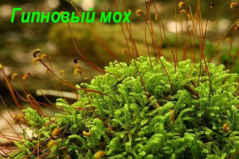 Гипновый мох