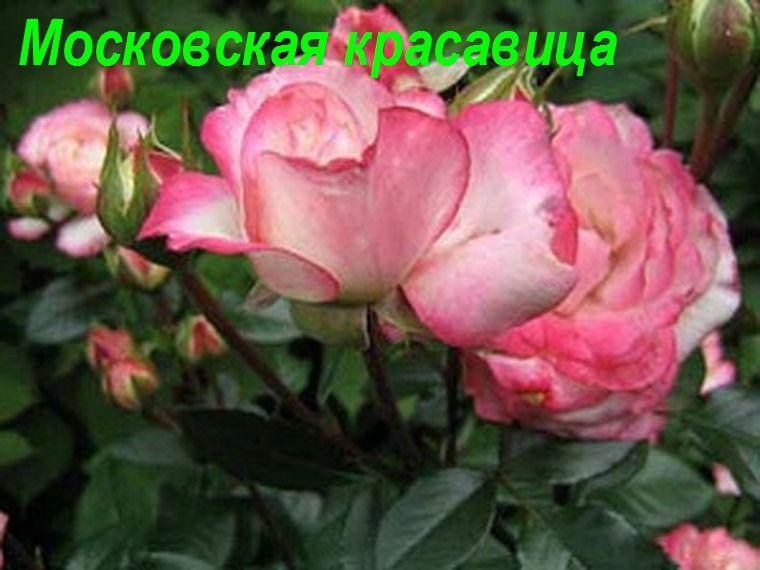 Московская красавица