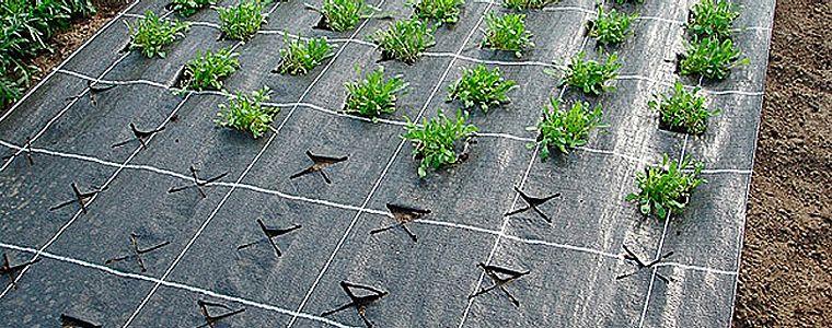 клубника под агроволокно