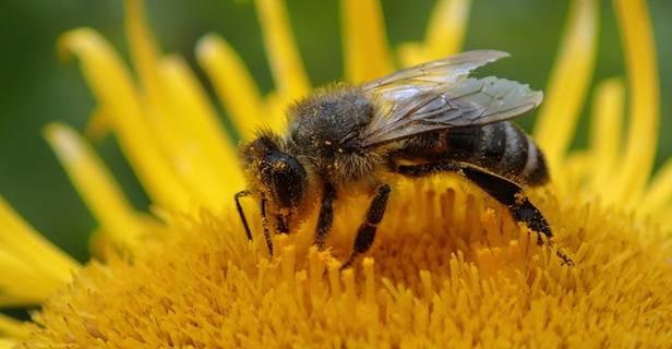 Абхазская пчела