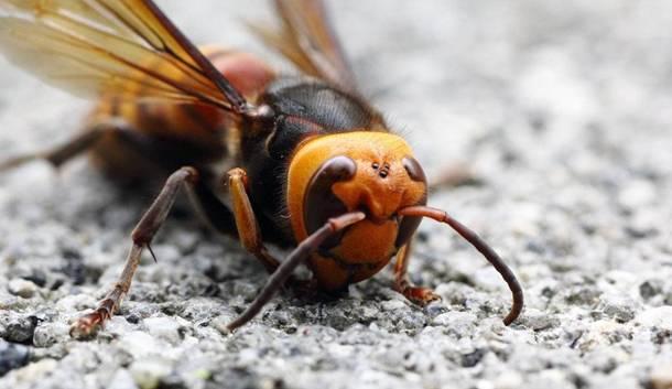 Азиатская пчела