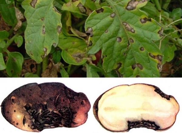 альтернариоз на листьях картофеля