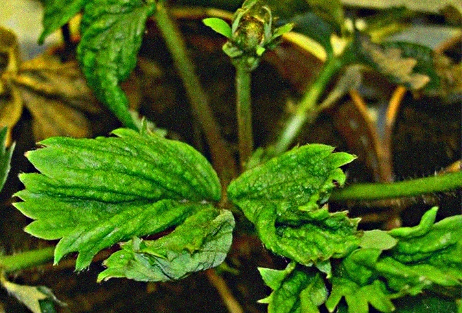 листовая нематода клубники