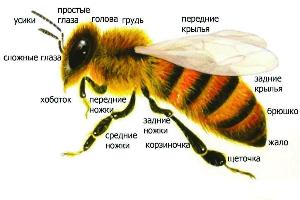 отделы пчелы