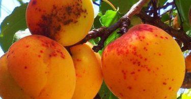 Парша на абрикосах