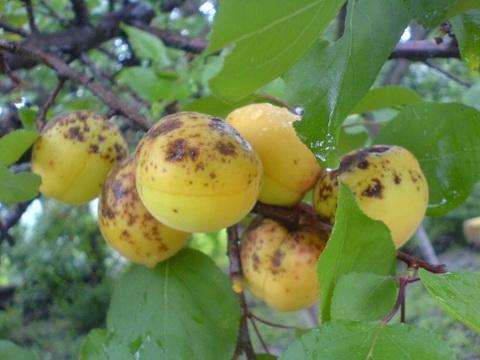 Плоды абрикоса