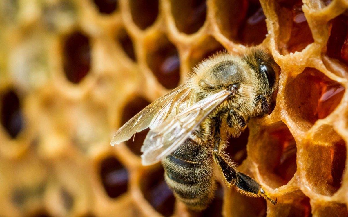 Домашняя пчела