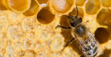 Пчела в сотах