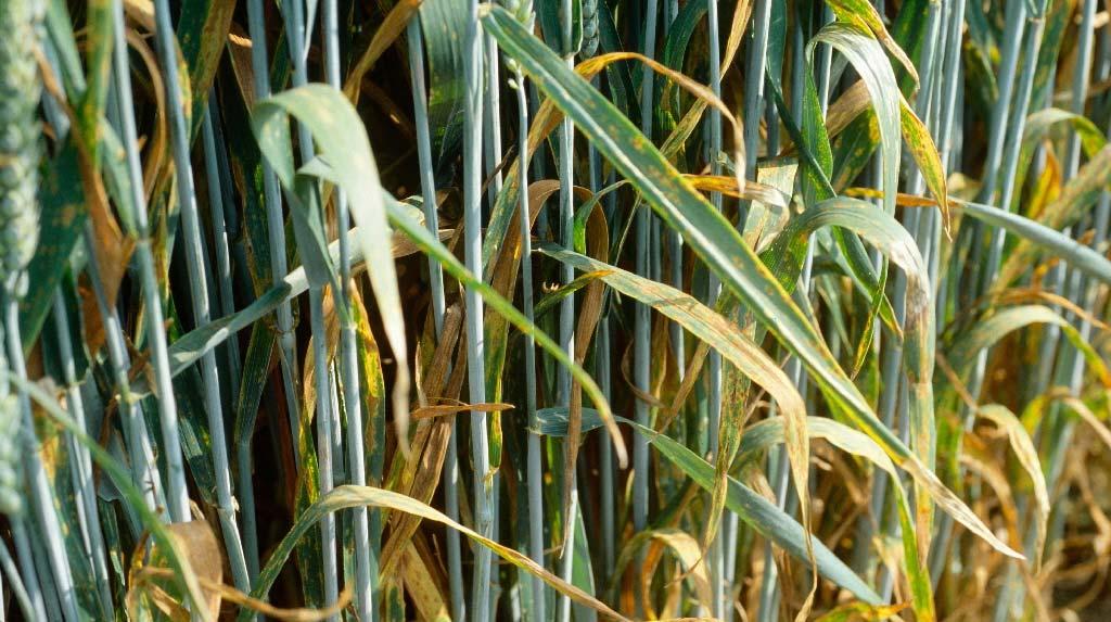 альтернариоз на пшенице