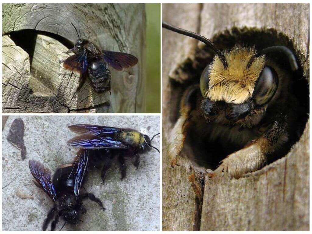Плотник пчела