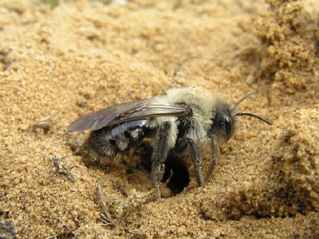 Пчела подземная