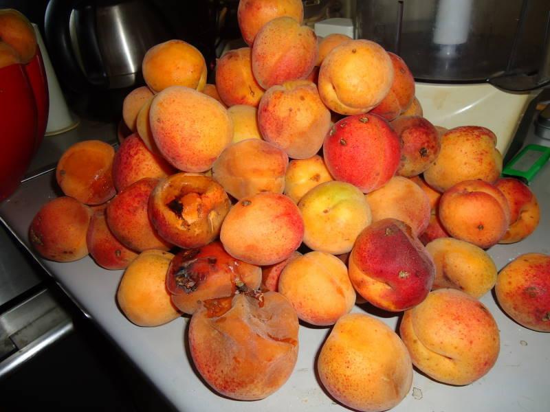 Парша на абрикосе