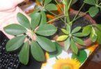 Растение для комнаты