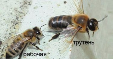 Трутень и пчела