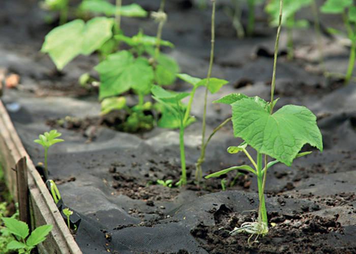 Здоровая и сильная рассада - залог хорошего урожая