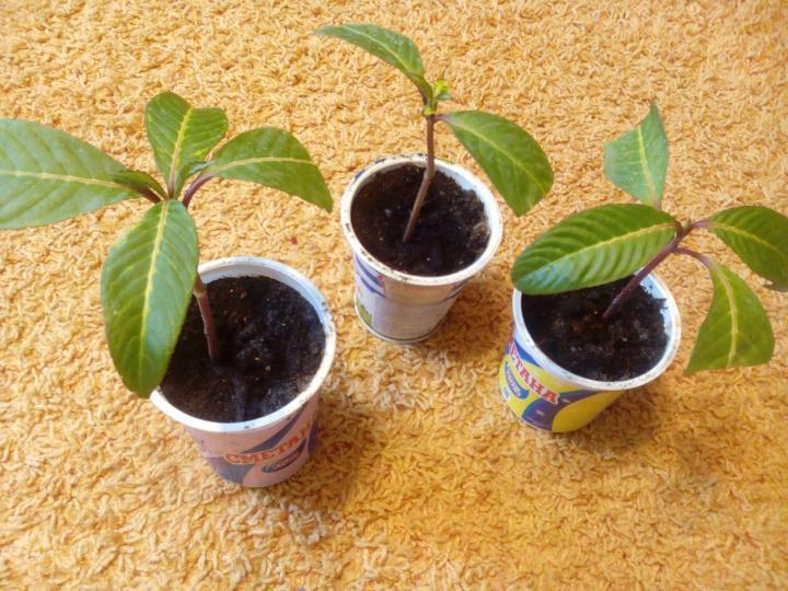 Саженцы растения